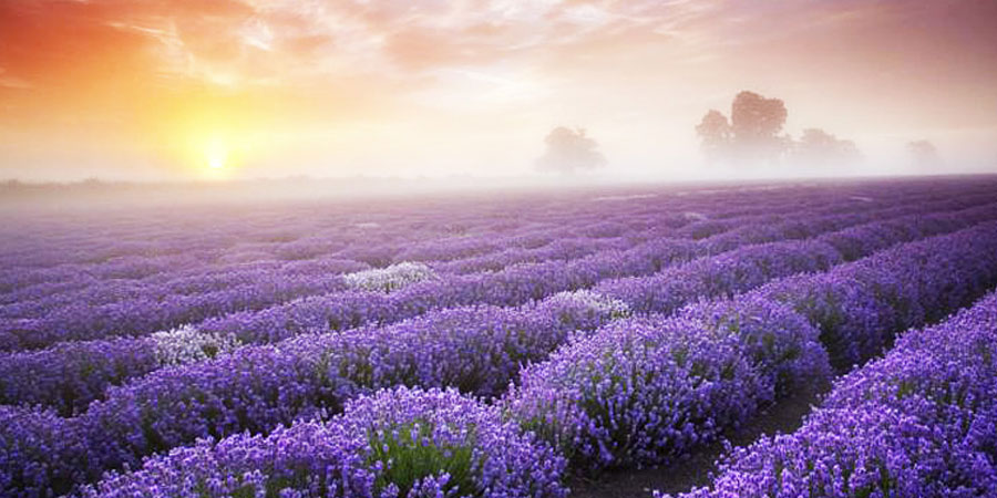Image result for fields of meadow saffron